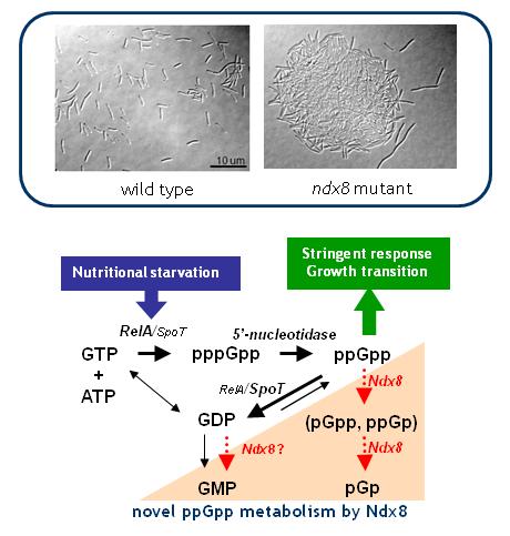 マルチオミクススクリーニングにより新規酵素機能と細菌のシグナル代謝を発見